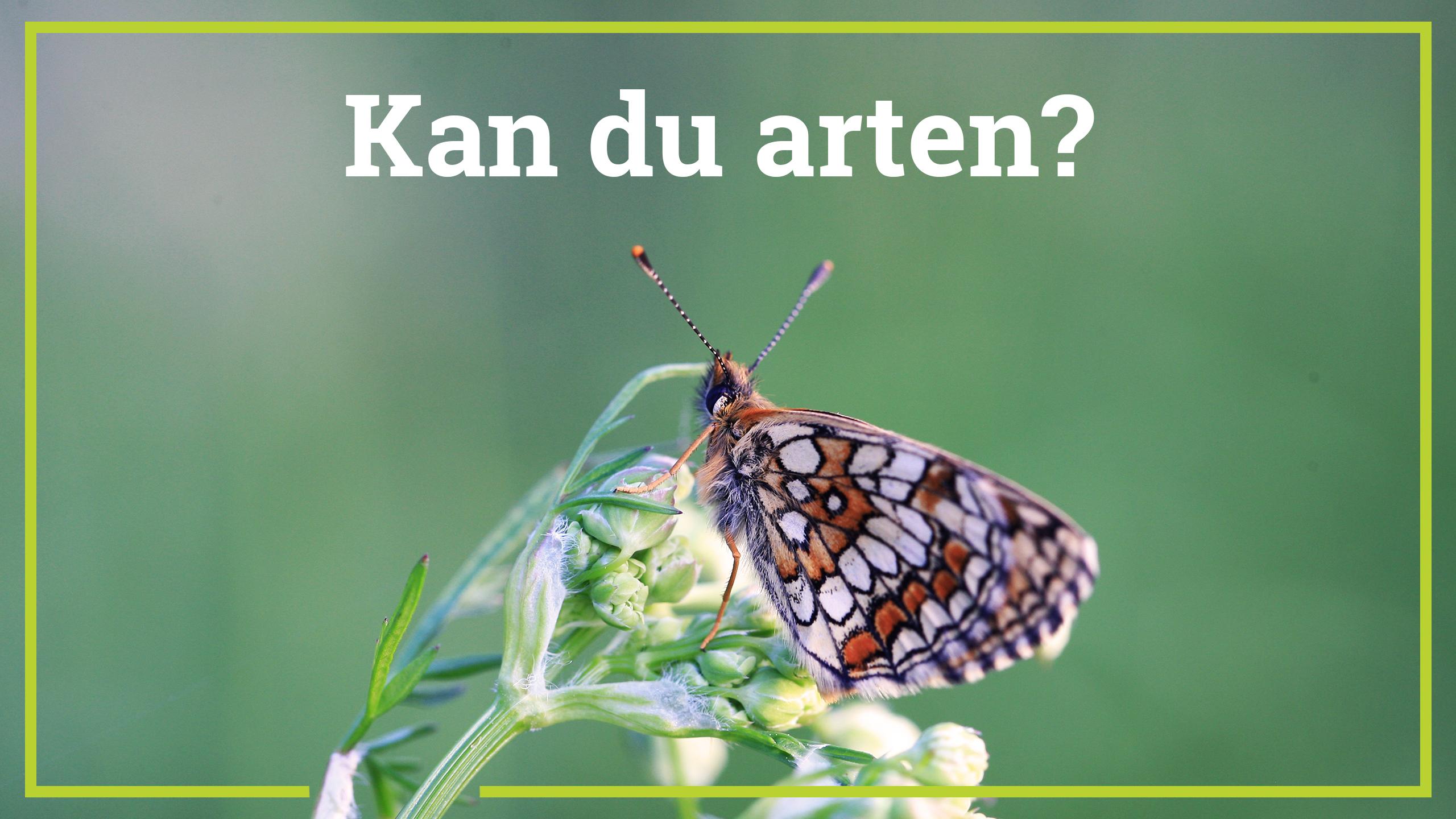 Skogsnätfjäril, Naturfalken.
